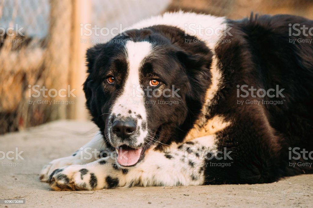 Central Asian Shepherd Dog. Alabai - An Ancient Breed From The Regions Of Central Asia stock photo