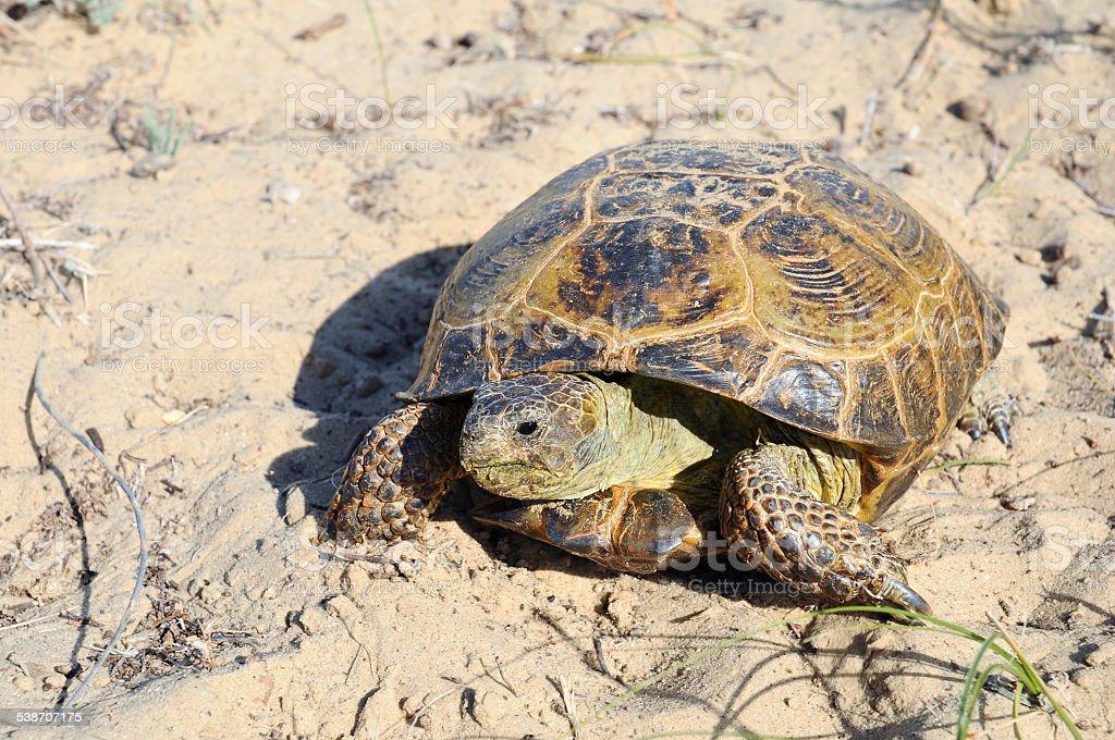 Central Asian tortoise stock photo