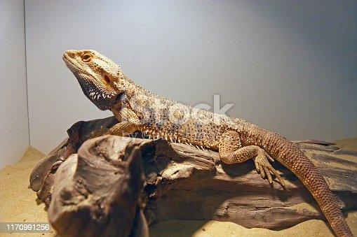 Central bearded dragon (pogona vitticeps), is a species of agamid lizard native to arid to semiarid regions of Australia