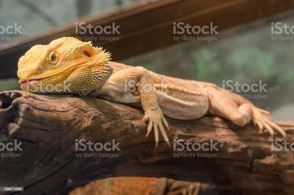Central Bearded Dragon (Pogona vitticeps). stock photo