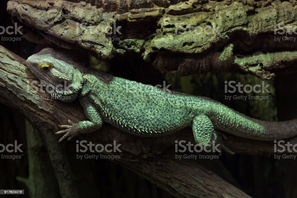 Central Bearded Dragon Pogona Vitticeps Royalty Stock Photo
