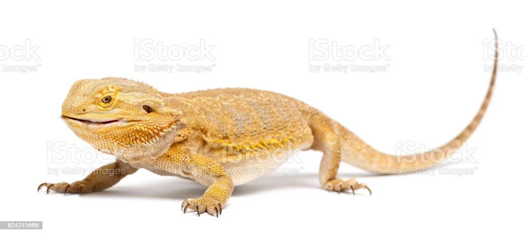 Central Bearded Dragon Pogona Vitticeps Eating A Cockroach