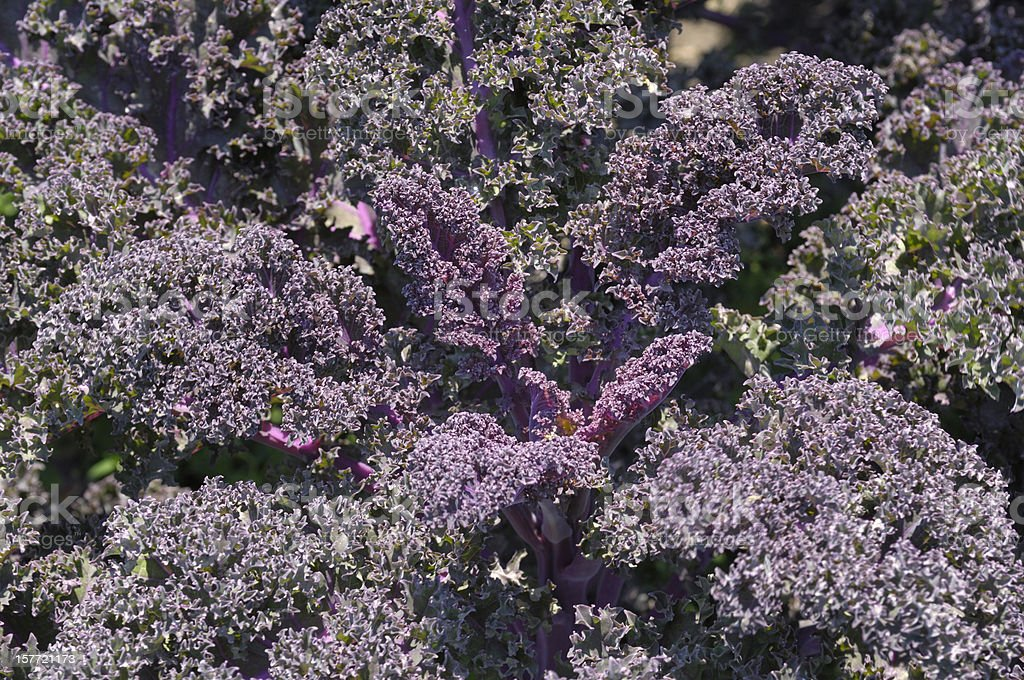 Central California field of organic purple kale royalty-free stock photo