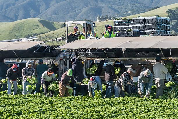 Central California Lettuce Harvest stock photo