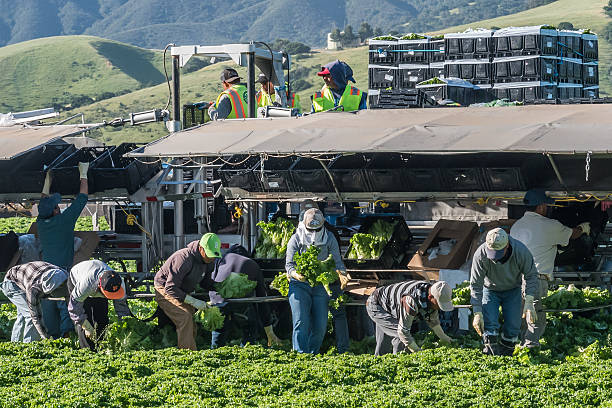 Central California Lettuce Harvest Salinas, California, USA - April 15, 2016: Seasonal agricultural field workers cut and package lettuce, directly in the fields, ready for shipping, in the Salinas Valley of central California. farm worker stock pictures, royalty-free photos & images