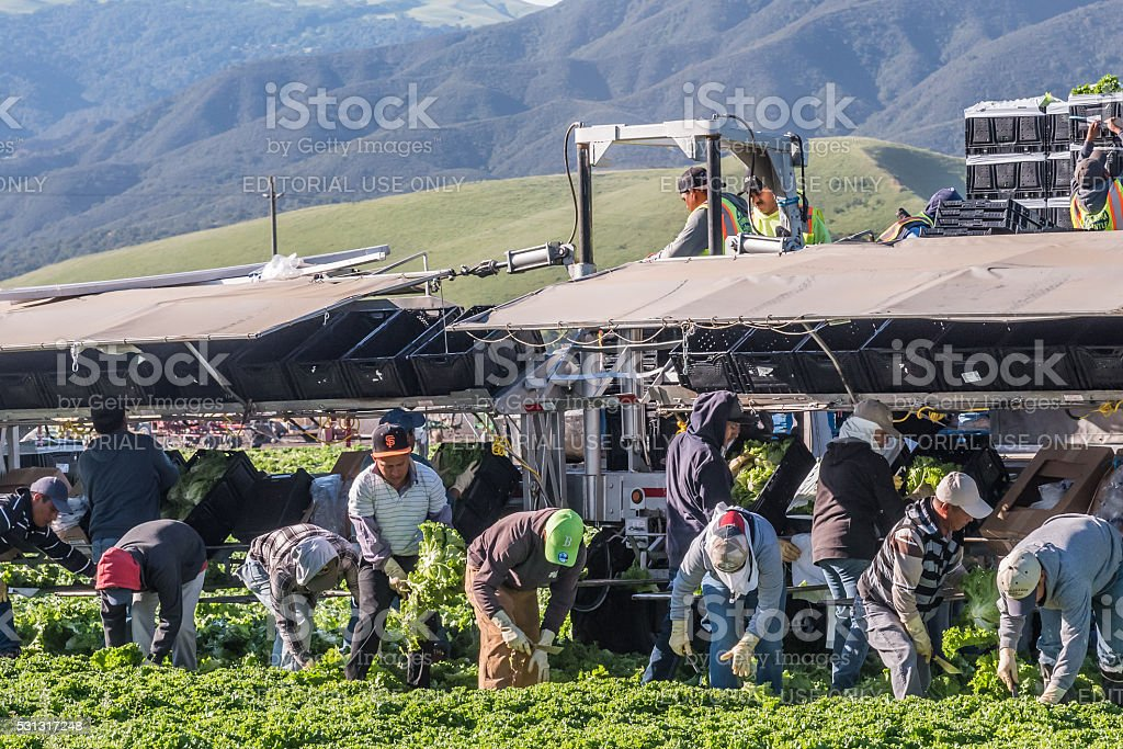 Central California Lettuce Harvest Salinas, California, USA - April 15, 2016: Seasonal agricultural field workers cut and package lettuce, directly in the fields, ready for shipping, in the Salinas Valley of central California. Agricultural Field Stock Photo