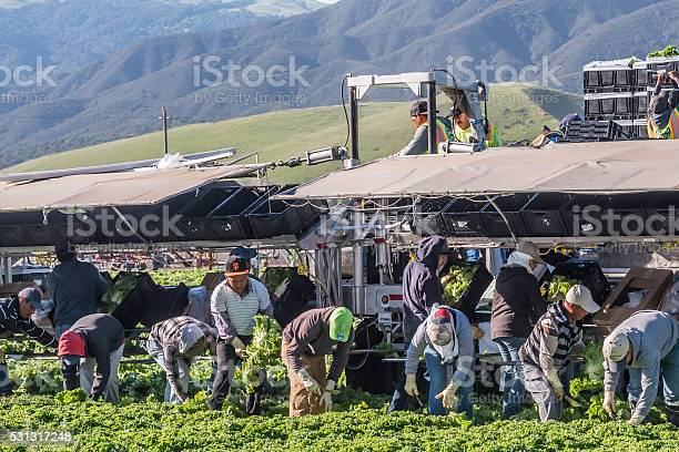 Central California Lettuce Harvest Stock Photo - Download Image Now