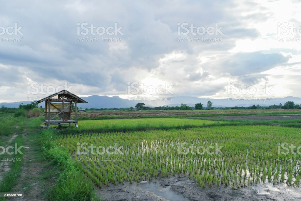 Central hut at rice field. stock photo