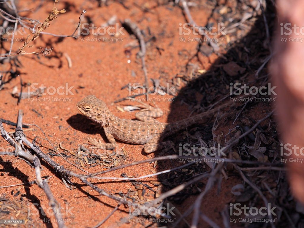 Central Netted Dragon, Ctenophorus nuchalis at Trephina Gorge stock photo