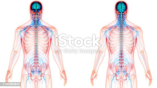 667379952 istock photo Central Organ of Human Nervous System Anatomy 1190364842