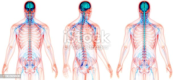667379952 istock photo Central Organ of Human Nervous System Anatomy 1190365606