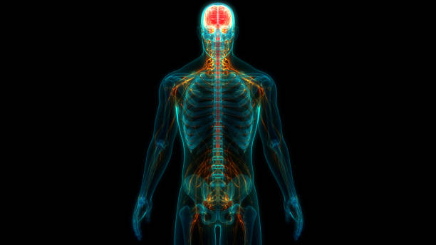 Central Organ of Human Nervous System Brain Anatomy stock photo