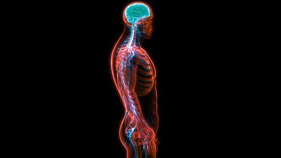 692684668 istock photo Central Organ of Human Nervous System Brain Anatomy 1186636795