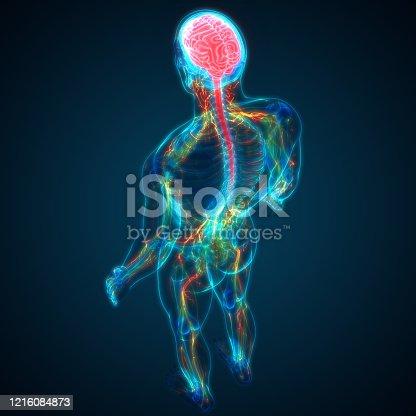 667379952 istock photo Central Organ of Human Nervous System Brain Anatomy 1216084873