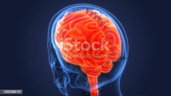istock Central Organ of Human Nervous System Brain Anatomy 1330386157