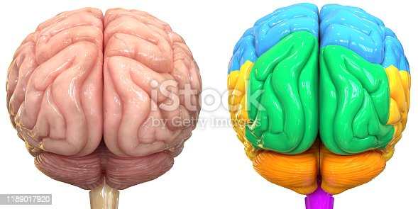 667379952istockphoto Central Organ of Human Nervous System Brain Lobes Anatomy 1189017920