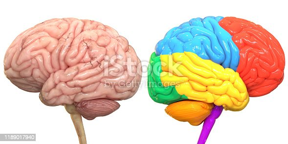 667379952istockphoto Central Organ of Human Nervous System Brain Lobes Anatomy 1189017940