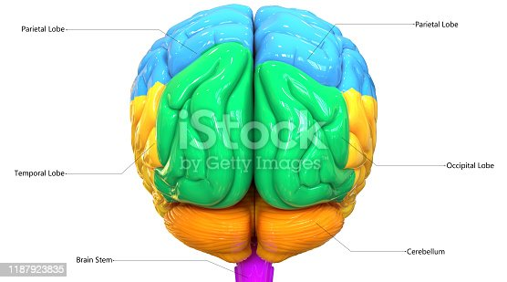 667379952istockphoto Central Organ of Human Nervous System Brain Lobes Anatomy Posterior View 1187923835