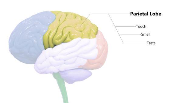 Central Organ of Human Nervous System Brain Lobes Parietal Lobe Anatomy 3D Illustration Concept of Central Organ of Human Nervous System Brain Lobes Parietal Lobe Anatomy parietal lobe stock pictures, royalty-free photos & images