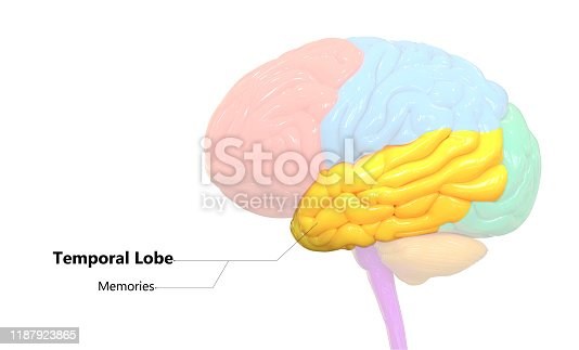 667379952istockphoto Central Organ of Human Nervous System Brain Lobes Temporal Lobe Anatomy 1187923865