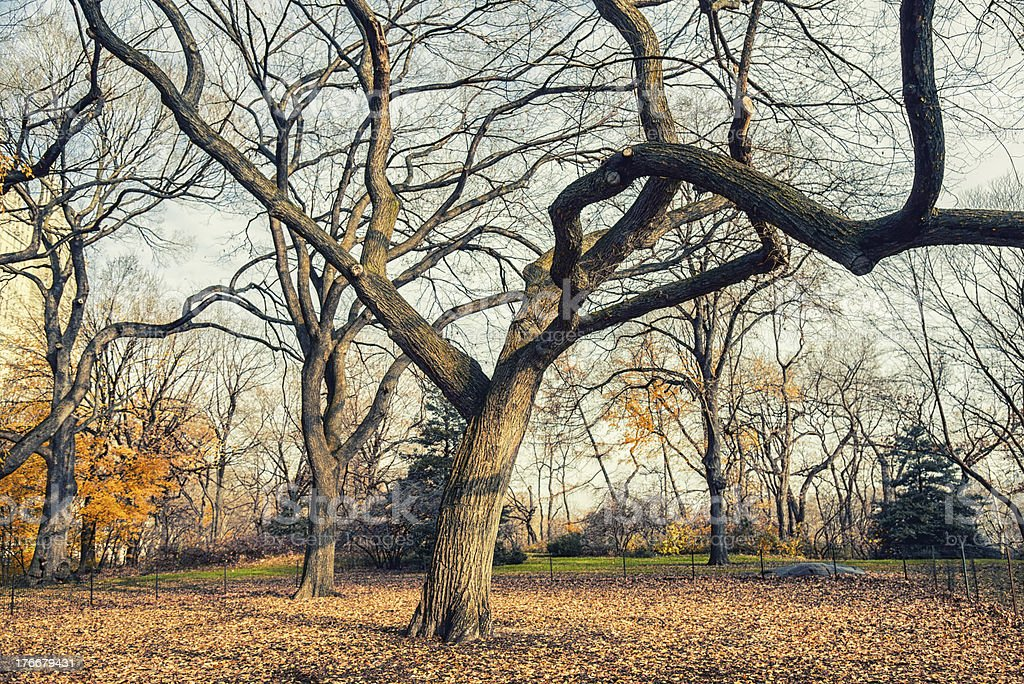 Central Park Bare Tree royalty-free stock photo