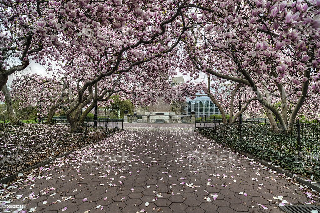 Central Park New York City Magnolia Tree Stock Photo More Pictures