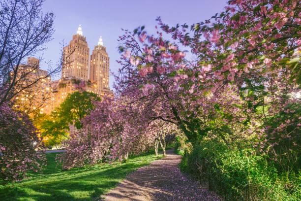 nyc central park path through blooming spring cherry blossom trees at dusk - central park manhattan zdjęcia i obrazy z banku zdjęć