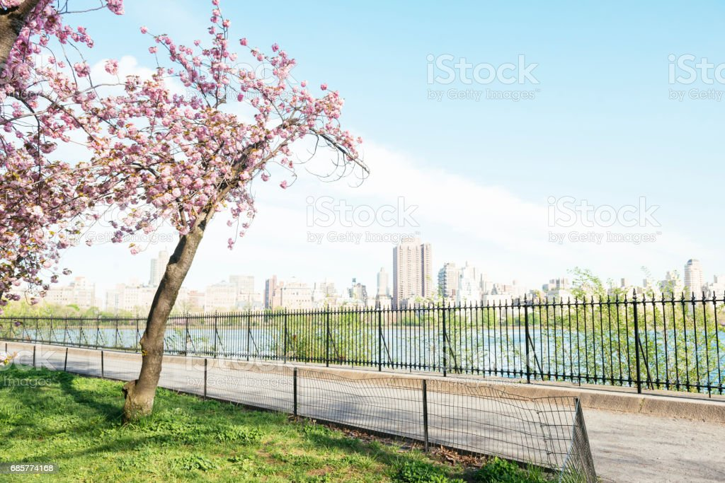 NYC Central Park Resevoir Cherry by Running Path 免版稅 stock photo