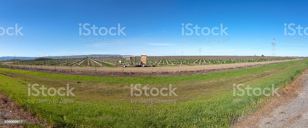 Central Valley Vineyard stock photo