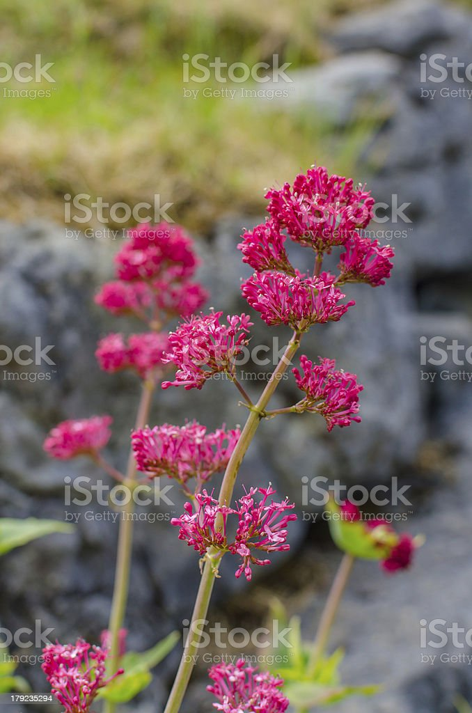 Centranthus ruber in Ireland stock photo