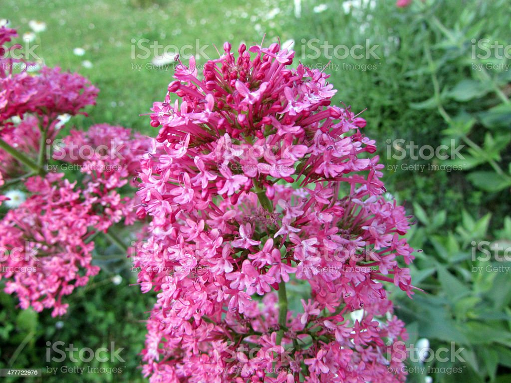 Centranthus ruber stock photo
