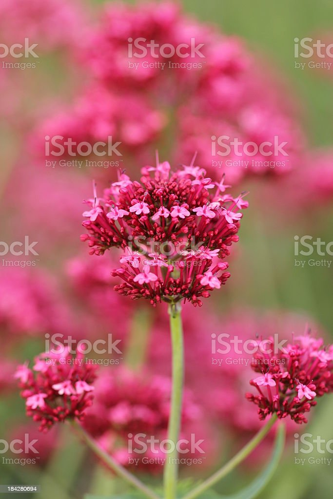 Centranthus ruber  - Rote Spornblume stock photo