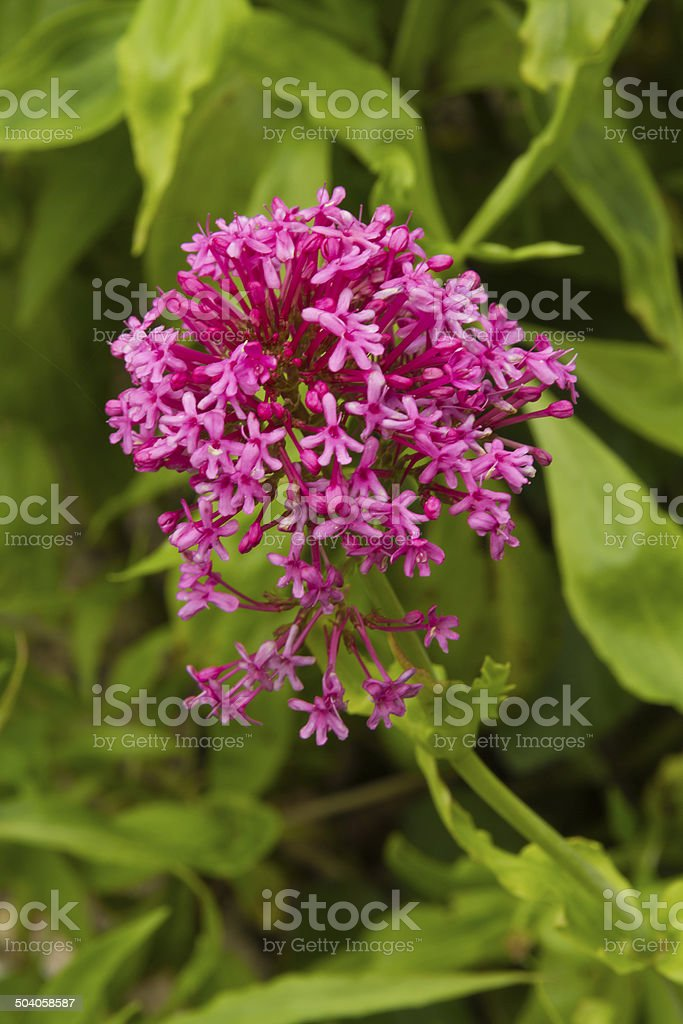 Centranthus ruber, red valerian, flower. Macro. stock photo