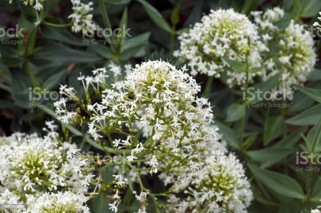 Centranthus; ruber; Valerian stock photo