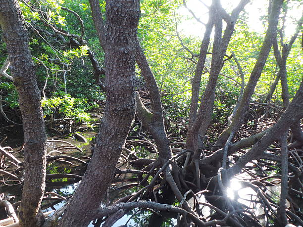 Century old mangrooves in Apo Reef. Century old mangrooves, rich coral and marine biodiversity are found in Apo Reef. apothegm stock pictures, royalty-free photos & images