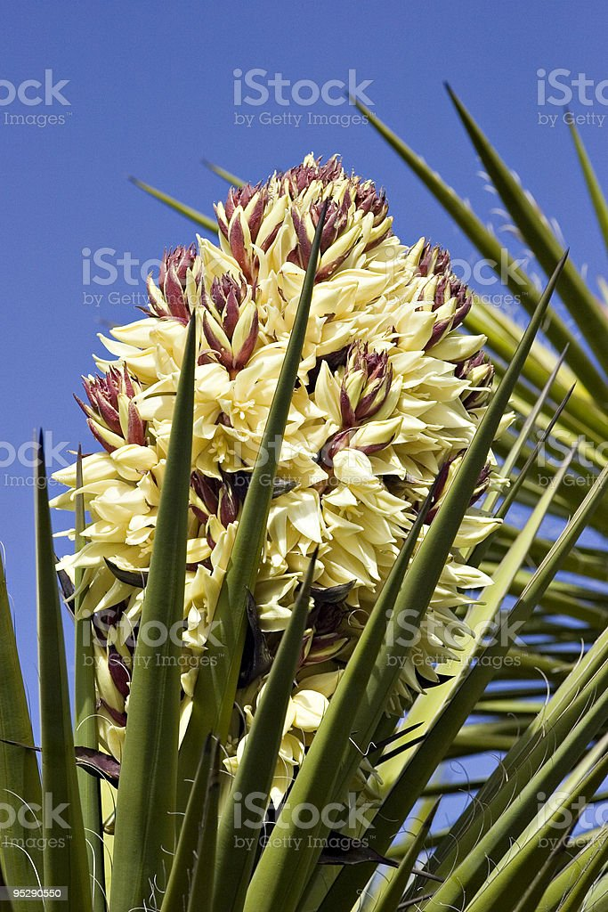 Century Plant Blossom With Blue Sky Background stock photo