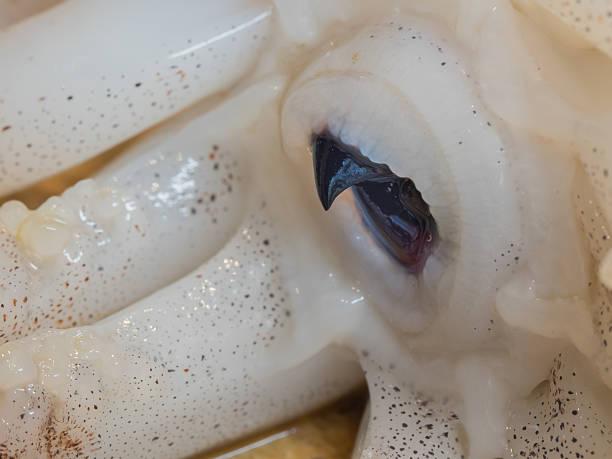 cephalopod beak - snavel stockfoto's en -beelden