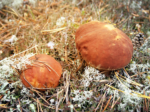 istock ceps in autumn forest close-up. Autumn forest background. Toned. 1019129018