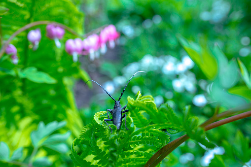 Cerambyx cerdo, commonly known as the great capricorn beetle, is a species of beetle in family Cerambycidae sits on bright green young shoots of ferns in shallow DOF.