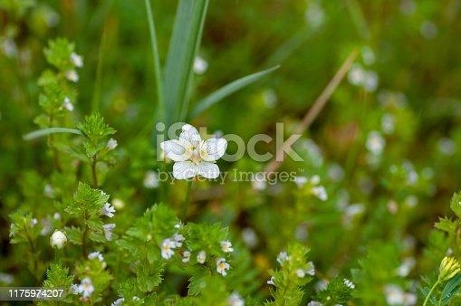 istock Cerastium lithospermifolium flowers on the mountain in Aktru valley. North-Chuiskiy Range. Altai Republic, Siberia. Russia 1175974207