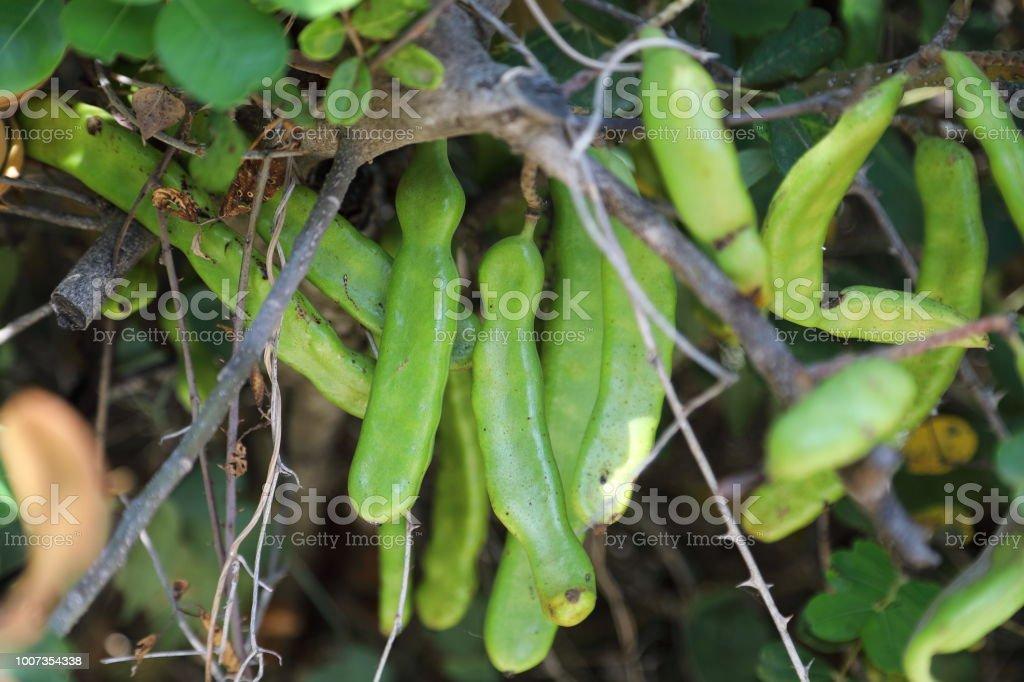 Ceratonia siliqua,  the carob tree or carob bush - fruits stock photo