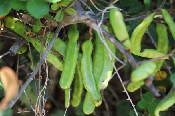 ceratonia siliqua,  the carob tree or carob bush - fruits - pejft stock photos and pictures