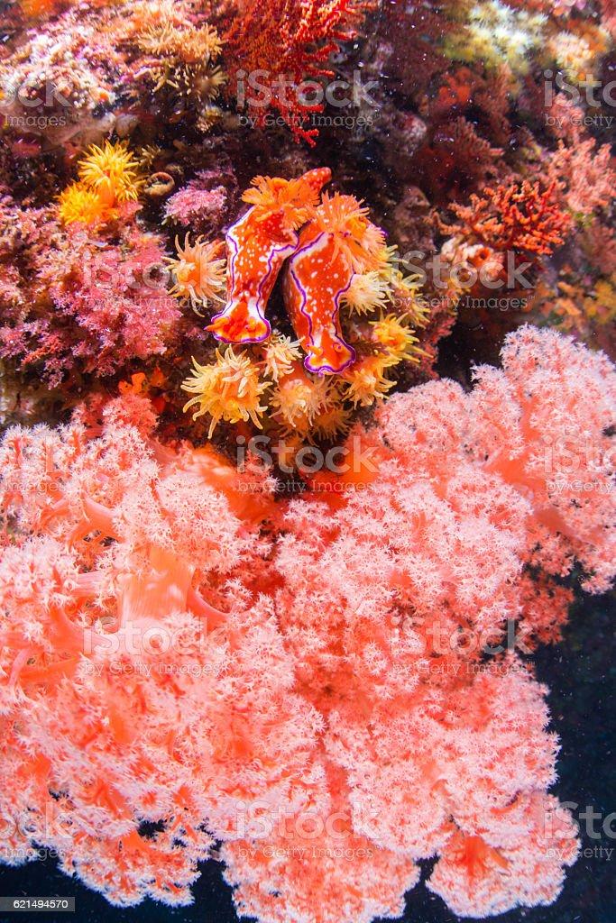 Ceratosoma trilobatum photo libre de droits