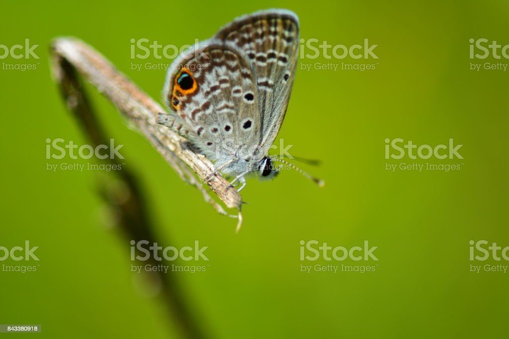 Ceraunus Blue hairstreak butterfly perched on the end of a curved stick stock photo