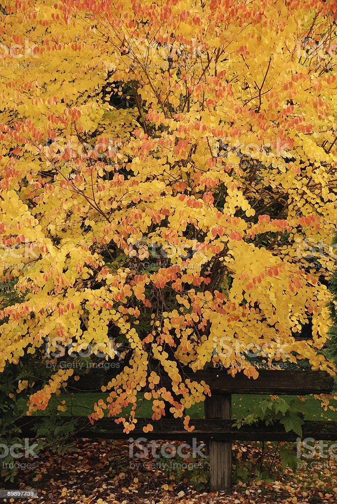 Cercidiphyllum japonicum royalty-free stock photo