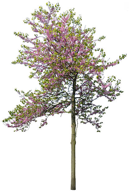 Cercis chinensis 'Avondale' or Chinese Judas tree isolated on white stock photo