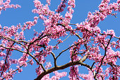 Cercis siliquastrum at blue sky