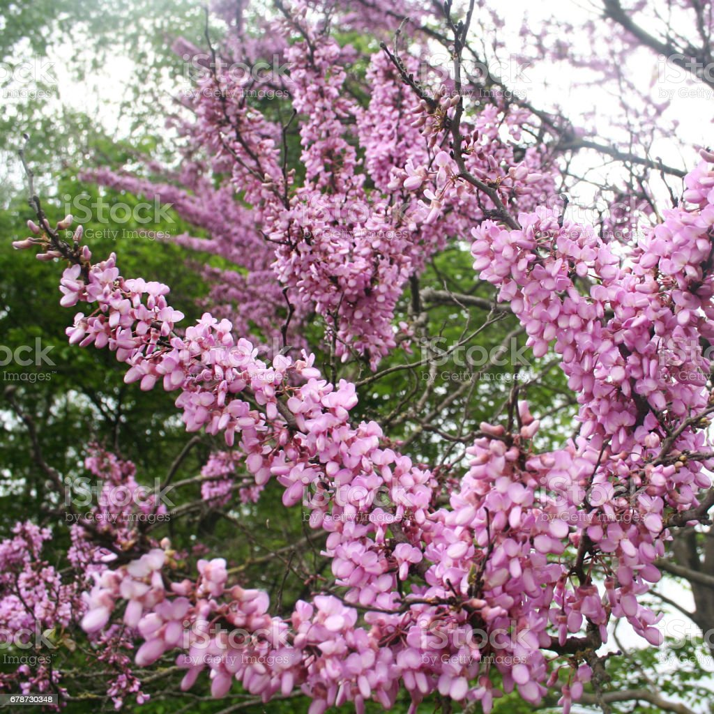Cercis siliquastrum with pink flowers royalty-free stock photo