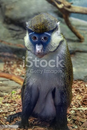 Cercopithecus ascanius monkey or Red tailed Guenon monkey