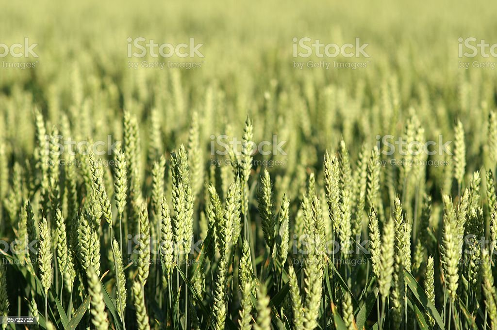 Cereal Crop royalty-free stock photo